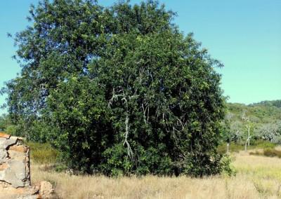 le caroubier l 39 arbre chocolat vous connaissez. Black Bedroom Furniture Sets. Home Design Ideas