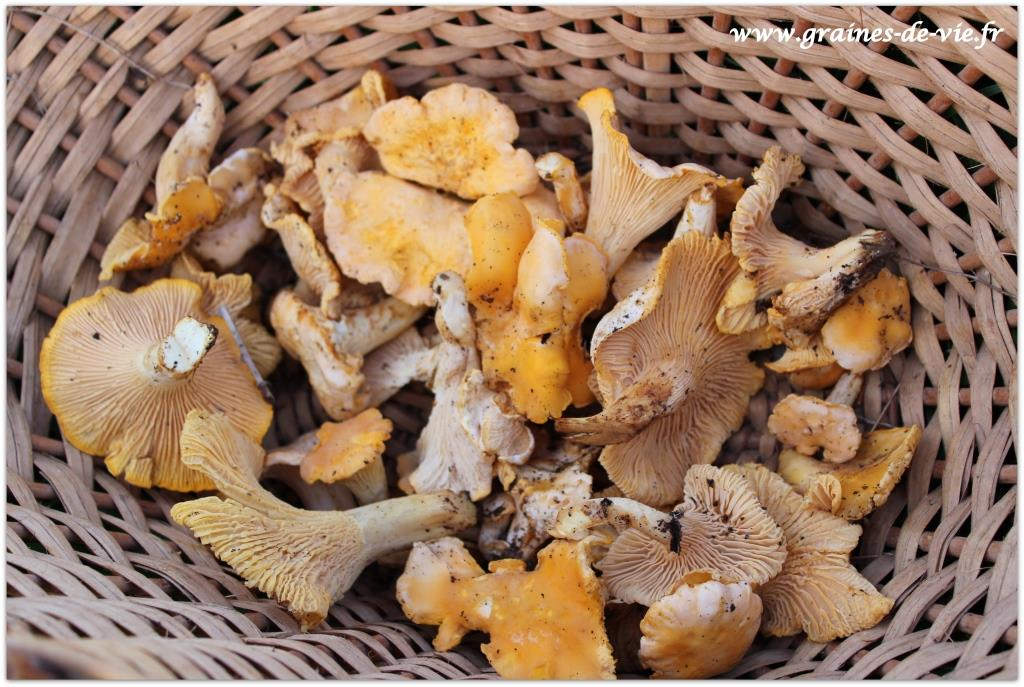 La saison des champignons à l'Oasis : chanterelles, coulemelles…