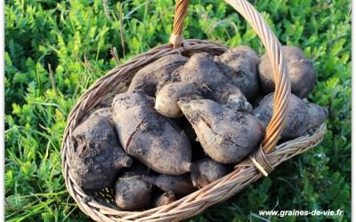 Les légumes chouchou du permaculteur, partie 2 : le yacon ou la poire de terre