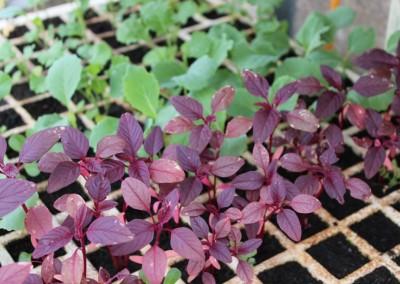 Hybrides et OGM