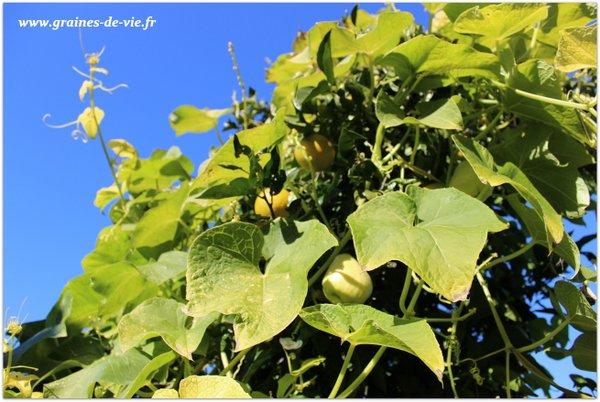 Les légumes chouchous en permaculture, partie 1