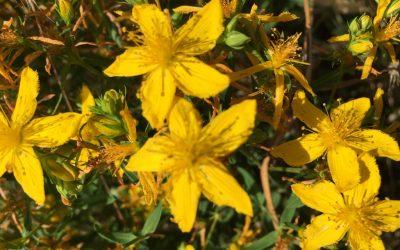 Millepertuis, la fleur du soleil