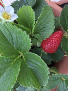 parc à fraises en permaculture