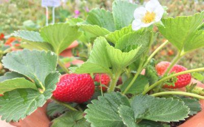La chance au milieu des fraises ou le parc à fraises en Permaculture